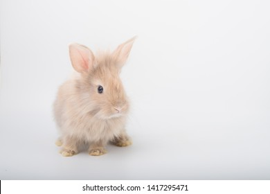 Cute brown furry bunny is standing in the studio in a white background.