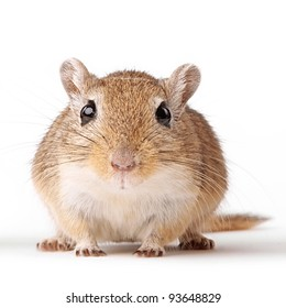 cute brown gerbil portrait isolated on white background