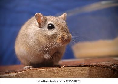cute brown gerbil watching into camera