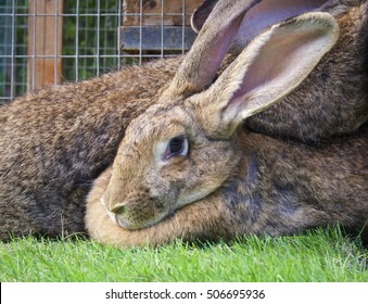 Cute Brown Giant Rabbits