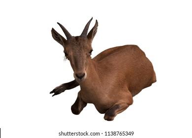 Cute brown goat