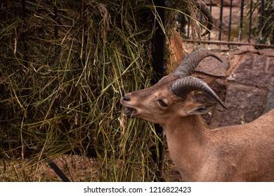 Cute brown goat eating grass