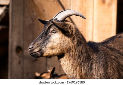 Cute brown goat of the island of San Clemente walking in zoo in sunny day
