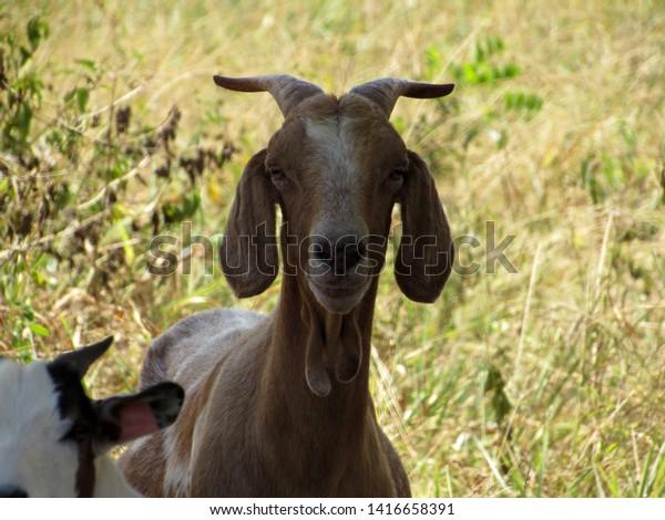 cute-brown-goat-looking-camera-600w-1416