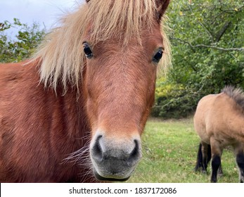 Cute brown, golden horse looking at the camera caught in Denmark.