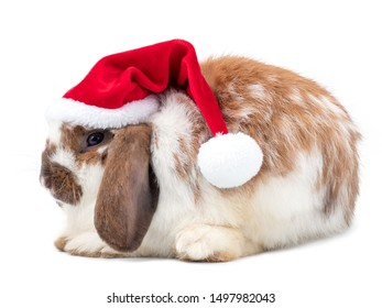 Cute brown holland lop rabbit wear the santa claus red hat on white background.