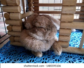 Cute brown Holland Lops rabbit is sleeping happily in the wooden cage, in the morning after breakfast. It's a fat and funny rabbit. Chiang Mai Thailand.