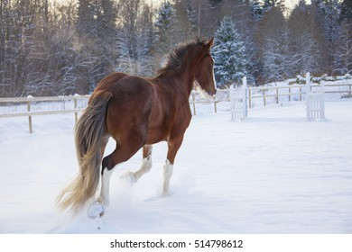 Cute Brown Horse is walking by snow