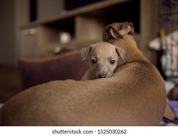 Cute brown Italian greyhound puppy looking from mommy's safety hug