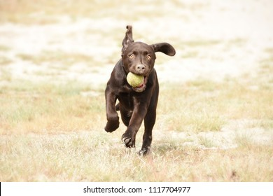 Cute brown labrador puppy dog runnign with ball in his mouth in green grass field.