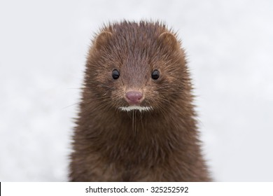 Cute Brown Mink Animal looking curious in the winter snow.