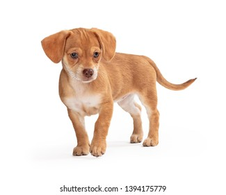 Cute brown mixed small breed puppy dog standing on white lifting paw to walk forward