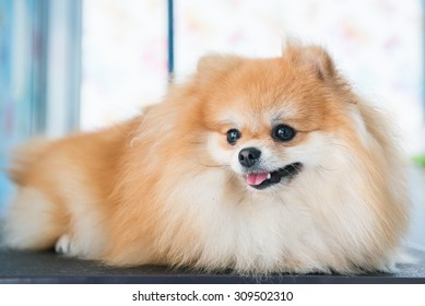 Cute White Brown Color Pomeranian Dog Stock Photo Edit Now