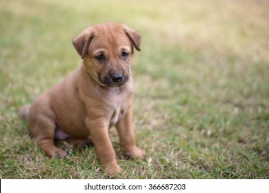 cute brown puppy with a black nose