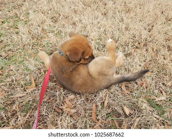cute brown puppy dog with red leash playing in brown grass lawn