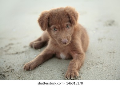 Cute brown puppy, India