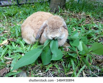 Cute brown rabbit is eating leaves in the lawn. It is a Holland Lops rabbit breed. Its lopped ears are distinctive features. Chiang Mai, Thailand.