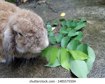 Cute brown rabbit is eating leaves in the garden home. It is a Holland lops rabbit breed. Its lopped ears are distinctive features. Chiang Mai, Thailand.