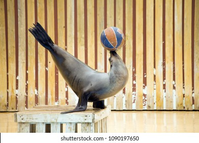 A cute brown seal playing a ball while standing on the wooden box in show-time stage at the public zoo.