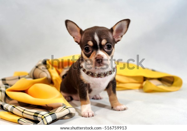 Cute brown short-hair Chihuahua puppy and shawl on white background.