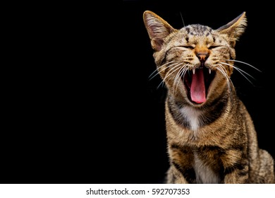 Cute Brown tabby cat are yawning on dark background