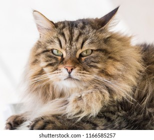 Cute brown tabby haired cat foreground. Male gender of siberian breed in livestock, hypoallergenic pet with pedigree