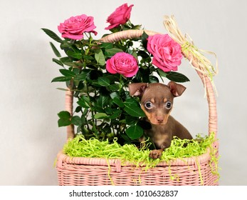 Cute brown and tan Russkiy toy (Russian toy terrier) puppy in a basket with flowers on white background.