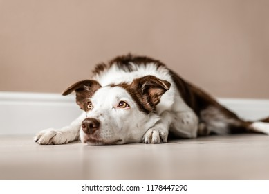 Cute brown and white Border Collie lays on the floor inside a house, looking up and away from the camera. Lazy day, calm dog