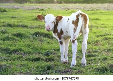 Cute Brown white calf on the meadow