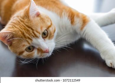 Cute brown & white cat