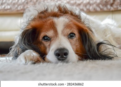 Cute brown and white dog laying on carpet. It's a Dutch race called Kooiker.