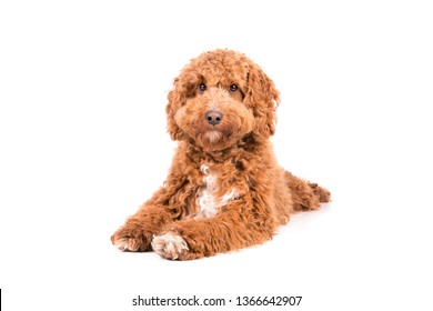 Cute brown with white Irish doodle