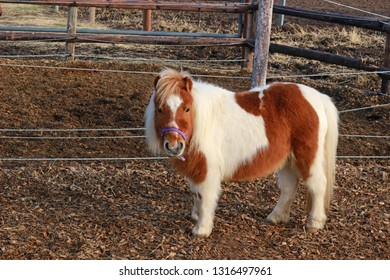 cute brown and white Shetland pony in a paddock, looking at camera