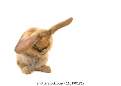 Cute brown young rabbit seen from the front grooming itself  and hiding its face isolated on a white background