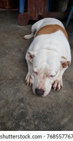 Cute Bull Dog on cement floor