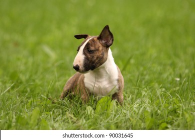a cute bull terrier puppy is sitting in green grass and watching others