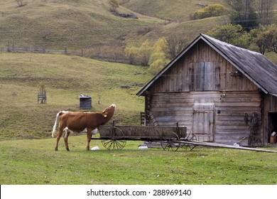 Cute bull from western Ukraine