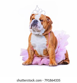 cute bulldog dressed up in a pink tutu and a princess tiara crown isolated on a clean white background