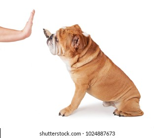 cute bulldog giving his owner a high five studio shot isolated on a white background
