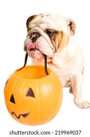 Cute Bulldog Holding a Jack O' Lantern for Halloween