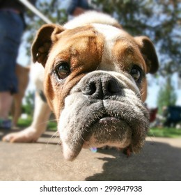 a cute bulldog pulling on a leash on a hot summer day close up wide angle