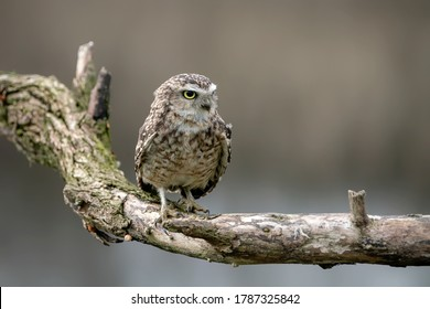 Cute Burrowing owl (Athene cunicularia) sitting on a branch. Blurry autumn background. Noord Brabant in the Netherlands. Copy space.