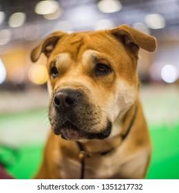 Cute Ca de Bou puppy dog ( Mallorquin Mastiff, Mallorquin Bulldog, Perro Dogo Mallorquin, Majorca Mastiff, Majorcan Bulldog, Perro de presa Mallorquin ), close up portrait