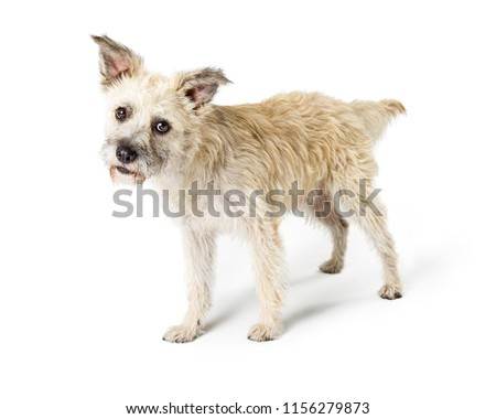 Cute Cairn Terrier Mixed Breed Dog Stock Photo Edit Now 1156279873