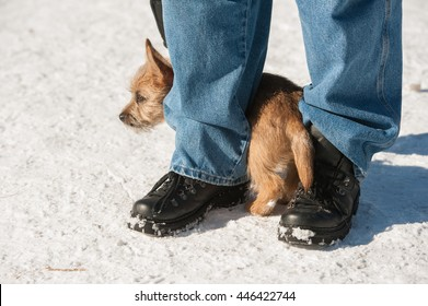 Cute Cairn Terrier puppy playing outside in cold winter snow. Young dog acting shy in the park on a sunny day and hiding between its owner's legs