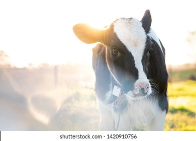 cute calf portrait with sunflare