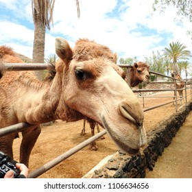 Cute camel (dromedary) watching, looking out of his cage. Funny animal in a great athmosphere.
