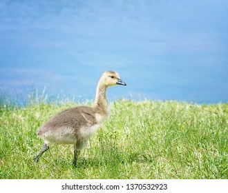 Cute Canada goose (Branta canadensis) gosling gosling strolling on the grass by a lake in the spring