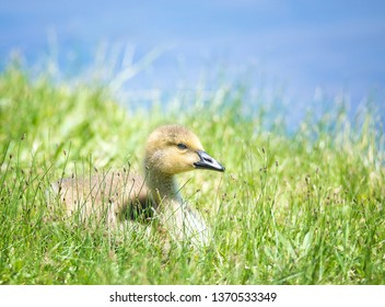 Cute Canada goose (Branta canadensis) gosling sitting on the grass by a lake in the spring