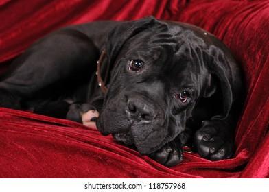 Cute cane corso four month  puppy portrait